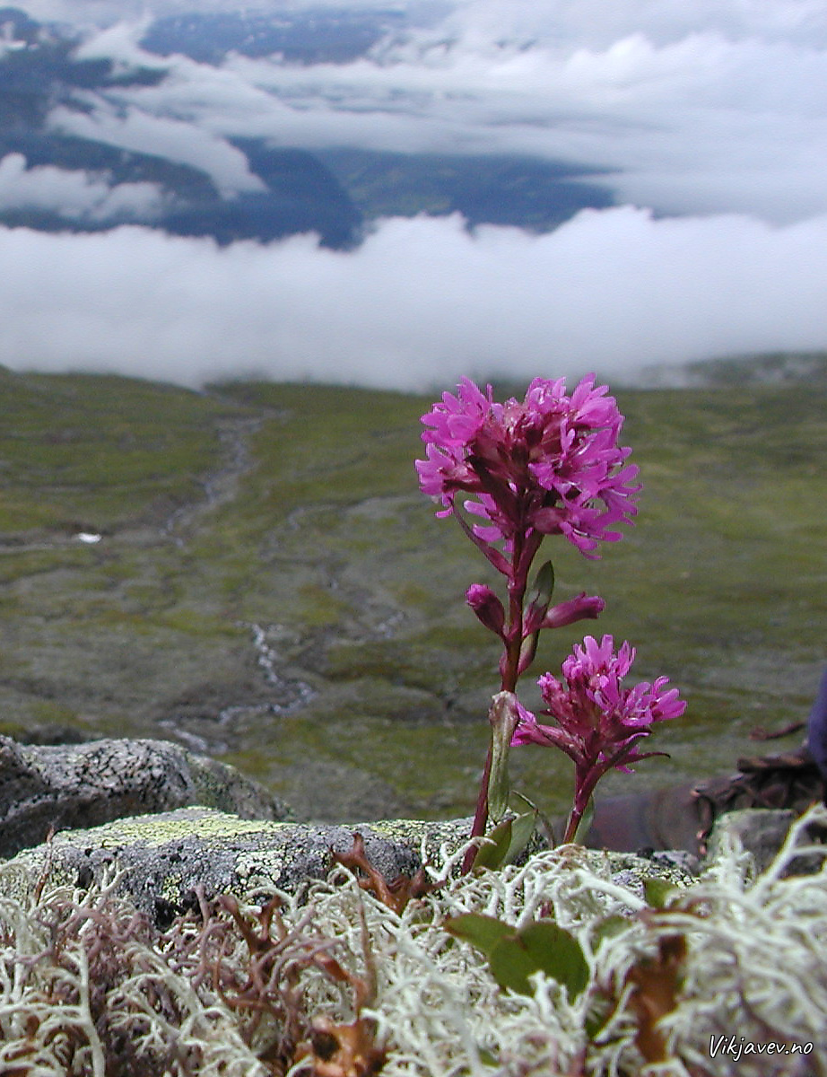 Blomst ovafor Flateng