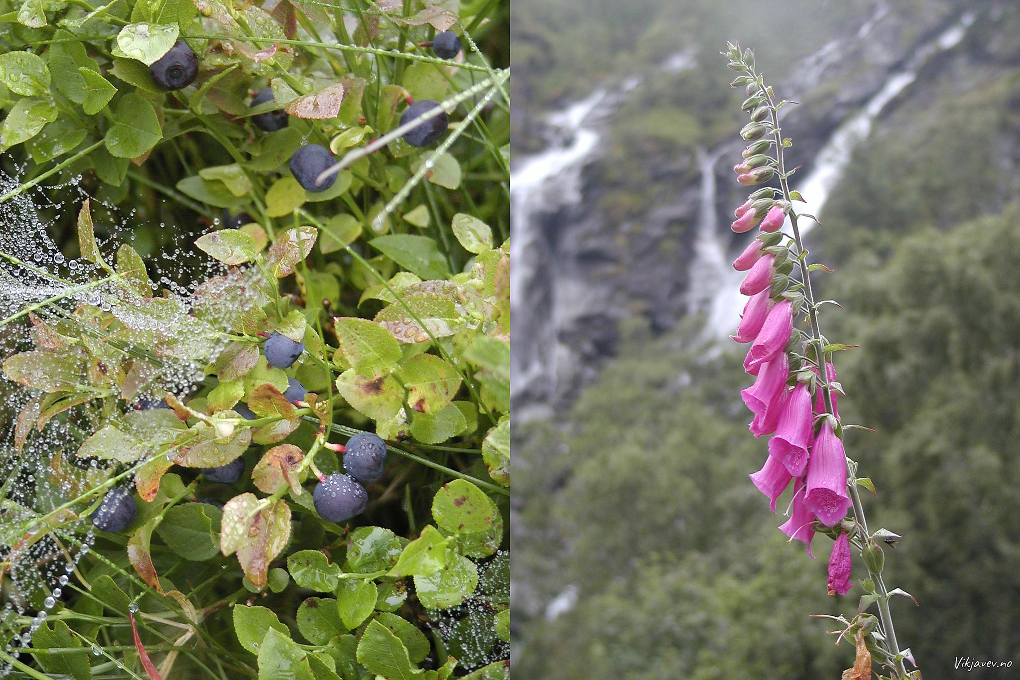 Blåbær og Revebjølle