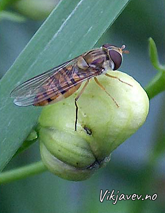 Insekt på blomsterknopp
