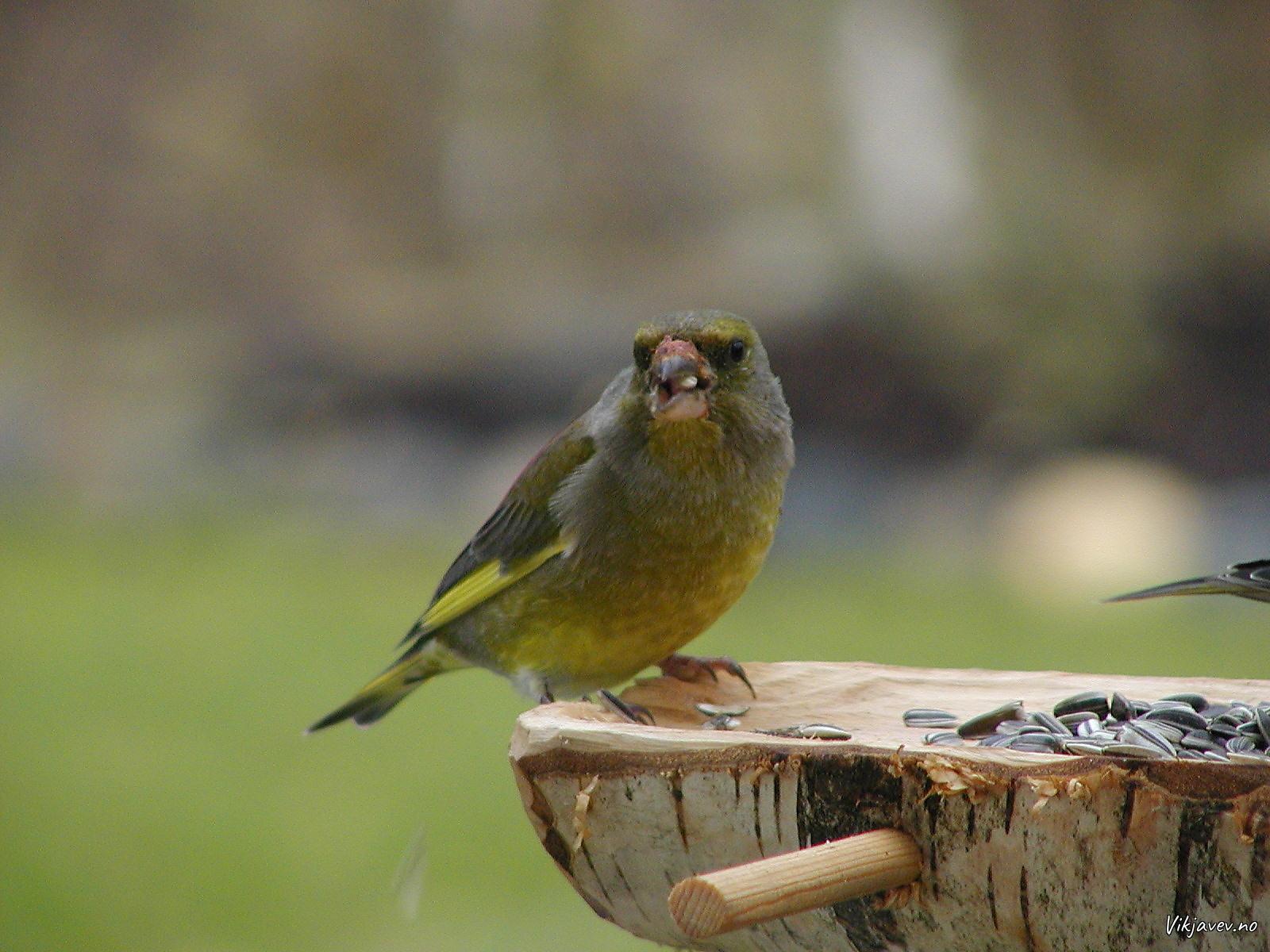 Grønfink