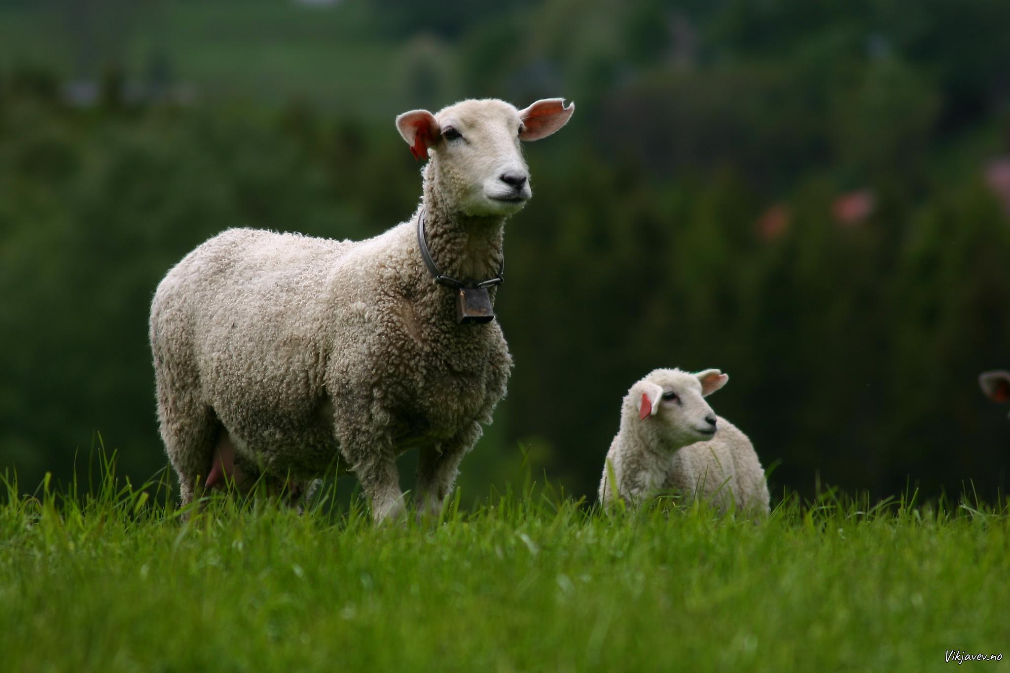 Gymmer og lamb