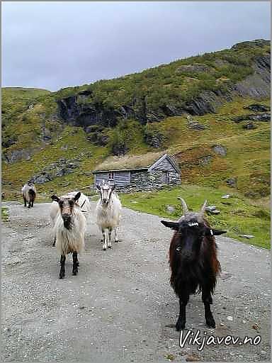 Geiter i Kvassdalen