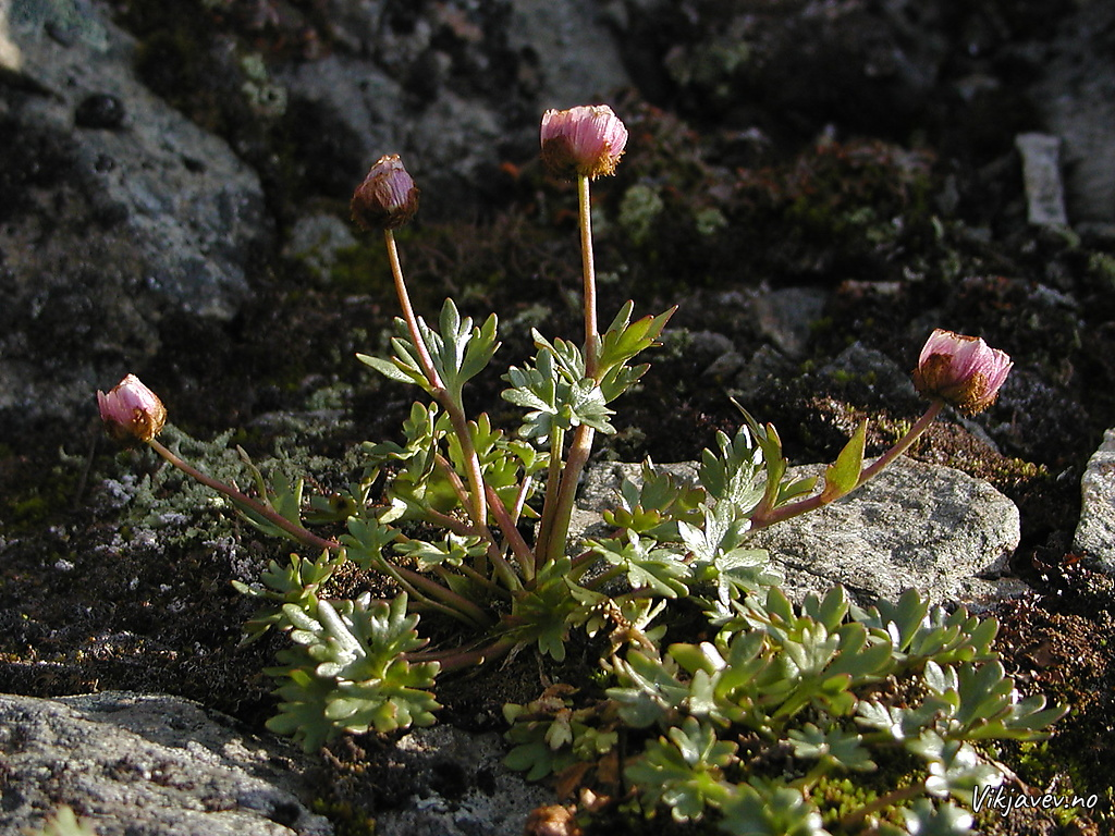Blomst ved Rambervarden