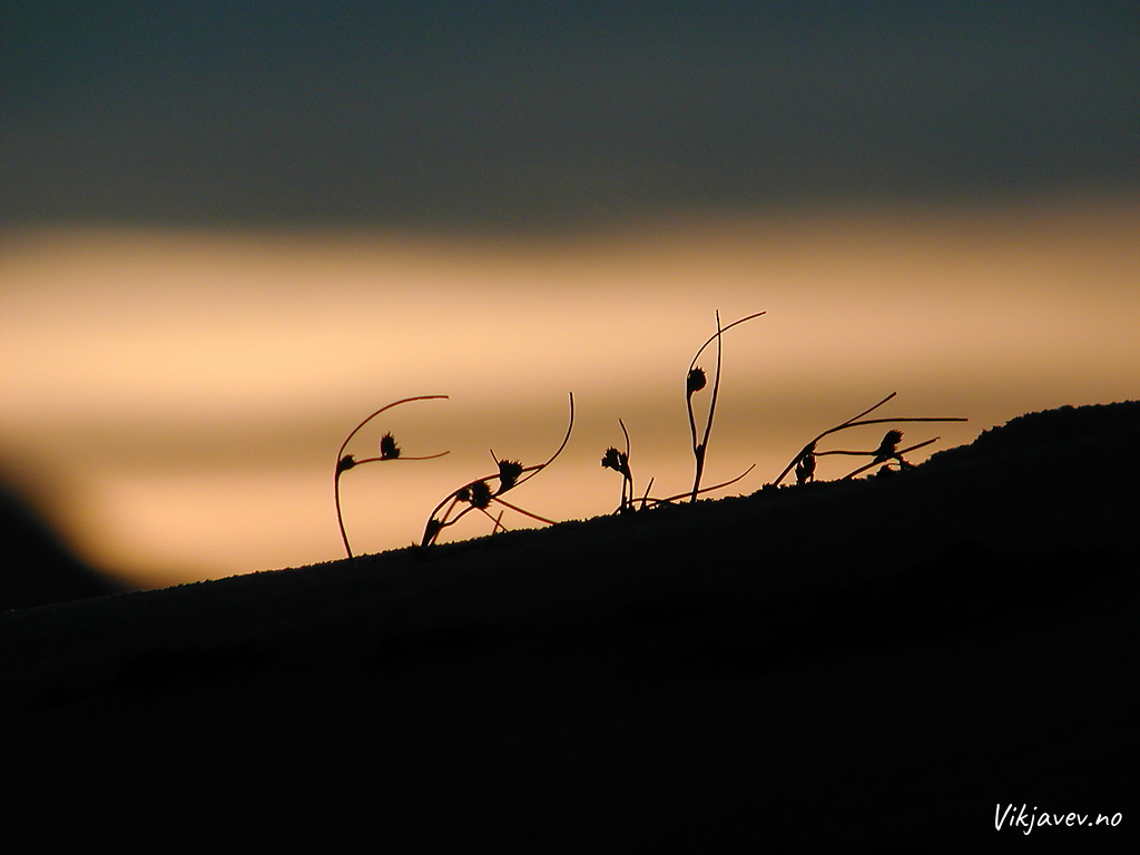 Gras i solnedgang