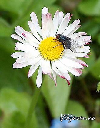 Fluge på blomst