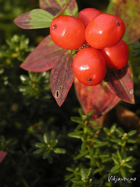 Skrubbær