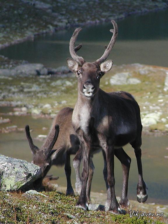 Reinsdyr - simle med kalv