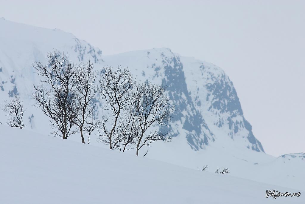 Bjørk og fjell