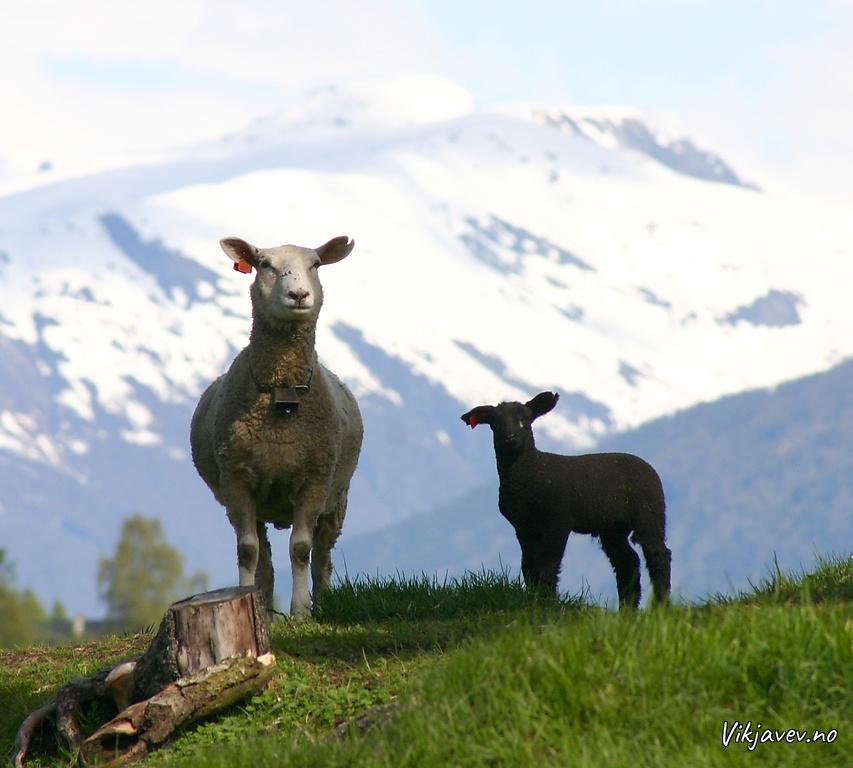 Gimmer med svart lam